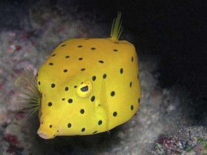 The Boxfish